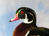 competition-wood-duck-close-up