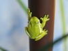green-tree-frog