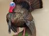 strutting-turkey-side