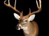 wt-deer-2