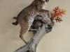 bobcat aggressive