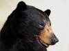 hl bear closeup
