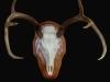 white-tail-deer-repro-european-mount
