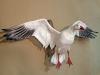snow-goose-2