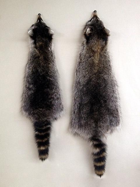 Raccoon pelts