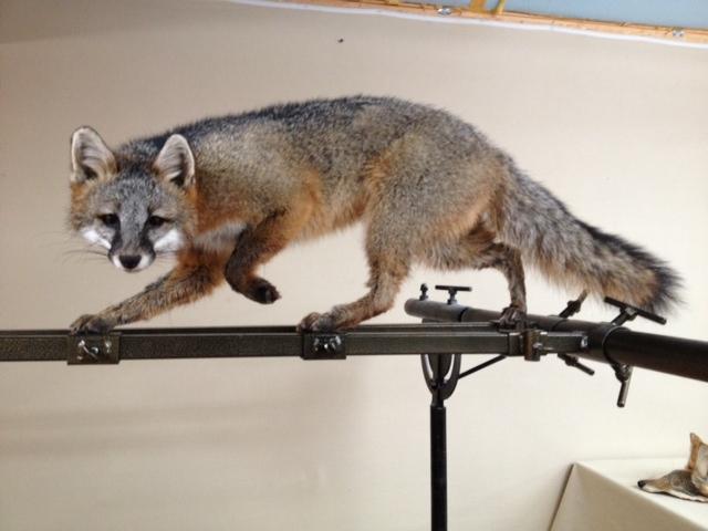 Grey fox1