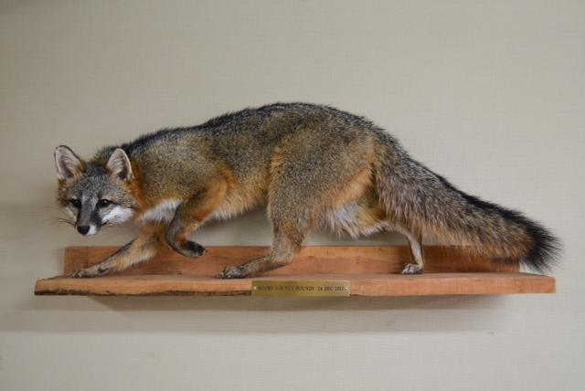 grey fox 3